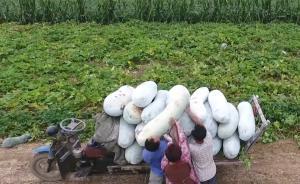 半人高巨型冬瓜滞销村民称每亩少赚千元