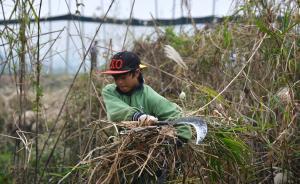 砍柴不用技術,上萬民工成洞庭刀客 留守女兒:找不累的工作