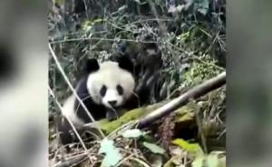 野生大熊猫今年首次现身北川自然保护区以外区域:害羞挡住头