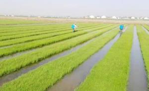 12位人大代表建言:利用5亿亩盐碱地,?#24179;?#28023;水稻发展