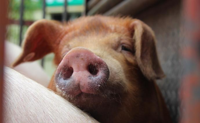 """海印股份:非洲猪瘟""""疫苗""""系笔误,注射液试验结果届时公布"""