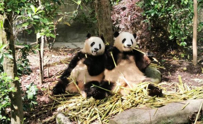 """""""继承者们""""到了!大熊猫兄弟落户上海,其中一只有""""白袜"""""""