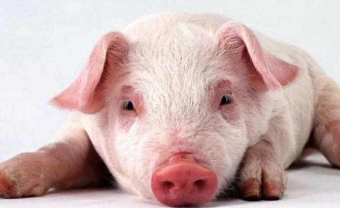 宁夏中卫市沙坡头区发生非洲猪瘟疫情