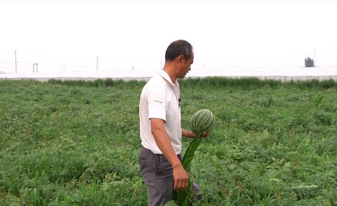 怀念童年味道,村民改造盐碱地种西瓜