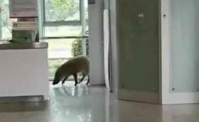 视频丨120斤野猪闯进南京仙林一地铁站,冲撞玻璃后逃离