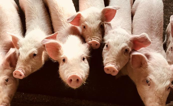 夜读丨养猪往事