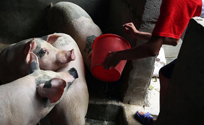 广东养猪协会发出九大稳产保供倡议:提高单头猪出栏体重