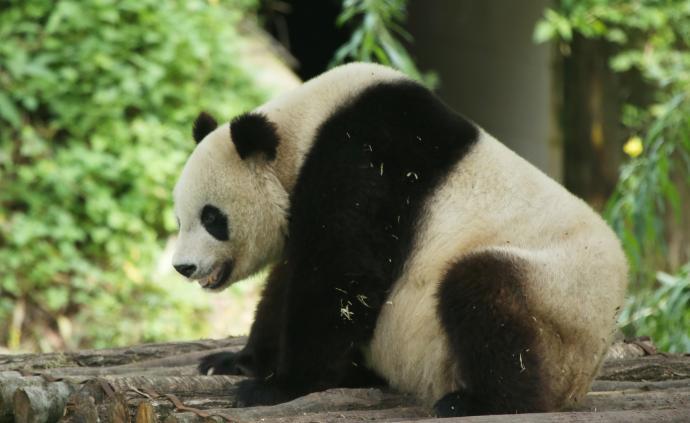 昆山杜克大學 | 如何解決放牧對大熊貓棲息地的干擾