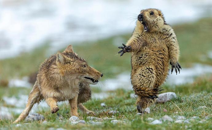中国摄影师首获野生动物摄影师大赛最高奖项,实现零突破