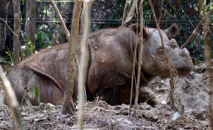 馬來西亞最后一頭蘇門犀死亡,全球僅剩80頭
