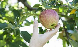 美国评出12种最脏果蔬,苹果连续多年居首