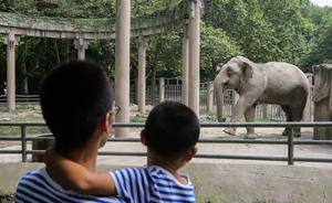 大象夫妇上海共庆结婚40周年:母象已生8胎,爱吃窝窝头