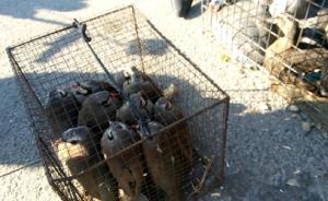 暗访|东北多地兜售红隼大雁保护鸟类,当街拧下麻雀头喂猛禽
