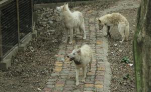 7只北极狼落户上海:面对人类,流露出困惑和好奇的神情