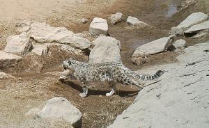 中国科研人员首次在新疆罗布泊山区拍到雪豹