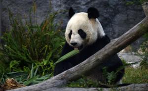 送澳门的大熊猫有啥标准?健康、漂亮、能生娃