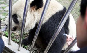 """陕西一大熊猫感染""""毁灭性传染病""""死亡, 另有三只正在救治"""