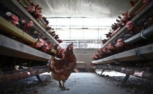 """捍卫""""鸡权""""加州出新规:母鸡生活空间若太小则不准卖其鸡蛋"""