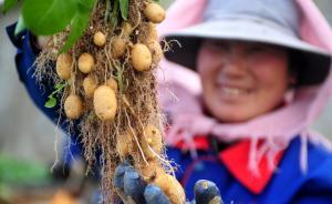 中国制定土豆主粮化战略推进原则:不与小麦水稻玉米抢水争地