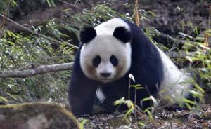 修路致大熊猫部分种群灭绝,专家吁立法保护野生动物栖息地