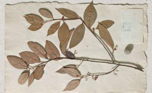 植物众生相:肉桂是爱情春药,石榴是爱情苹果