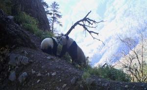 中国第四次大熊猫普查:野生大熊猫1864只,四川占七成