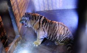 平度处理老虎坠亡事件责任人,养虎人请辞青岛市人大代表