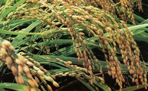 华中农业大学转基因水稻失窃,绿色和平再发声明否认偷窃