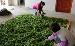 云南普洱古树茶因反腐跳价30%,乘直升机抢茶的客人没了