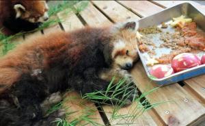 每日一词:最高龄小熊猫