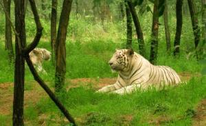 秦皇岛一女游客被老虎咬伤致死:参观野生动物园时自行下车