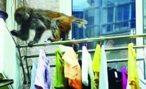抢劫食物、偷窥居民,徐州的这些泼猴为何频频下山扰民?
