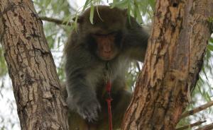 一只猕猴在树上拆除模拟搭建的鸟窝。该场站位于一条鸟类迁徙廊道上,周边鸟类有四五百种,每年春季候鸟更多。为保障飞机训练安全,2014年,场站开始训练猕猴上树拆鸟窝。 CFP 图