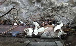 连日暴雨,四川卧龙一野生大熊猫因山洪溺亡