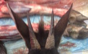 以为捕到《封神榜》神兽其实是保护动物鬣羚,温州三老汉被拘