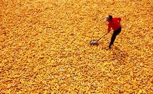 中国玉米库存已创新高为何还在进口?陈锡文:将改革补贴制度