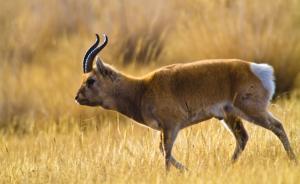 青海湖又有7只普氏原羚死于草场围栏:太高跳不过被刺丝挂住