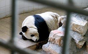 广场舞吵得熊猫心律不齐?南京红山动物园澄清未受影响