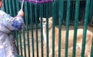 陕西一寺院僧人养狮子被罚:罚款三千没收狮子,开展刑事调查