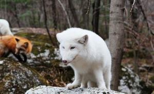 数十人运送狐狸到安徽黄山放生,大部分已被林业部门派人抓回