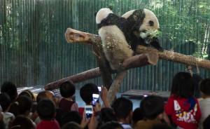 """上海动物园熊猫馆迎来""""俩小子"""",送""""大姑娘""""返蓉相亲"""