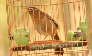 画眉鸟的买卖:系保护动物无人工繁殖技术,官方却发了养殖证