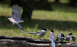 哪种鸟能成上海市鸟?灰喜鹊曾被提名,政协委员推荐震旦鸦雀