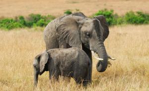 美国禁止象牙贸易:避免打着合法幌子偷猎交易,非洲象或有救