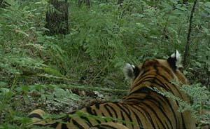 野生东北虎身影再现,红外相机拍下连续三日吃黄牛清晰照