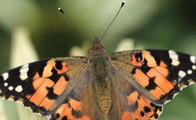 氣候變化導致更多蝴蝶、飛蛾和蜻蜓等外來物種進入英國