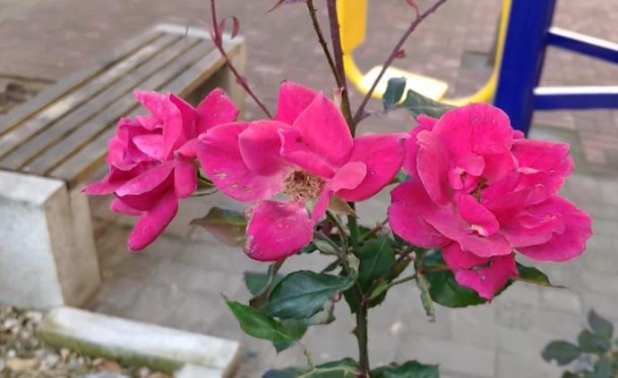 """被氣溫搞""""暈""""?濟南月季臘月開出花"""