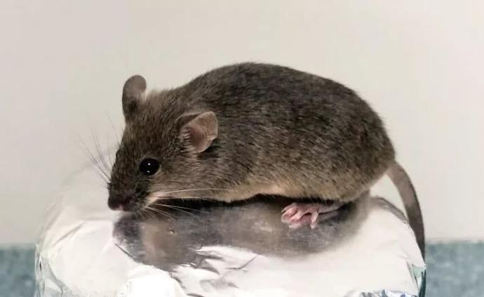 我国科学家成功将卵巢颗粒细胞转变为卵子并获健康小鼠