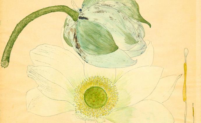百年前的手绘植物科学画,告诉我们合欢、龙葵、矢车菊长这样