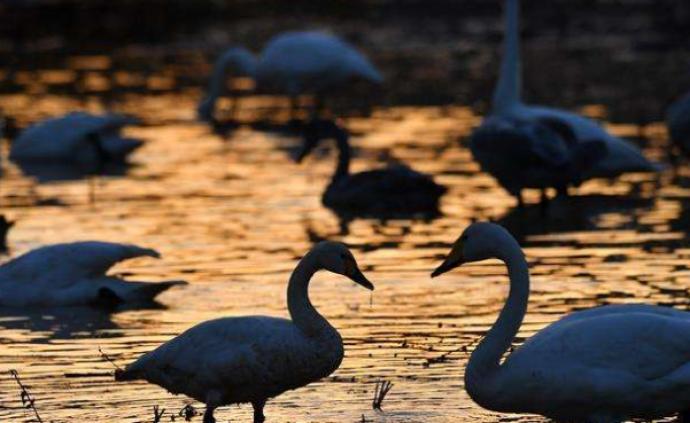 新疆生产建设兵团发生天鹅H5N6亚型高致病性禽流感疫情